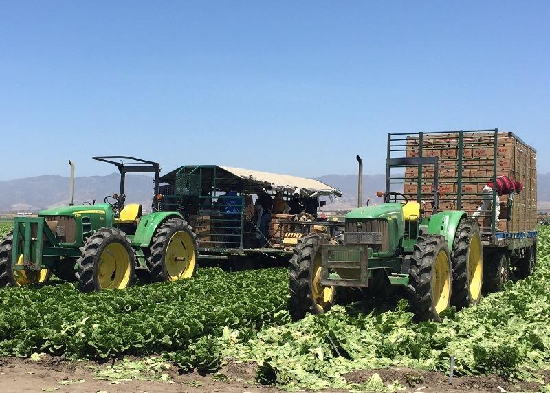 Romaine lettuce farm