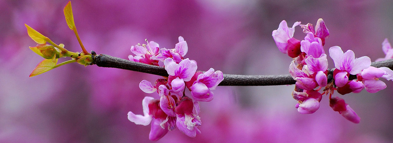 Image of Redbud tree