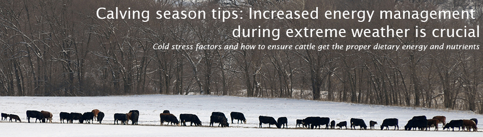 Calving season tips: Increased energy management during extreme weather is crucial