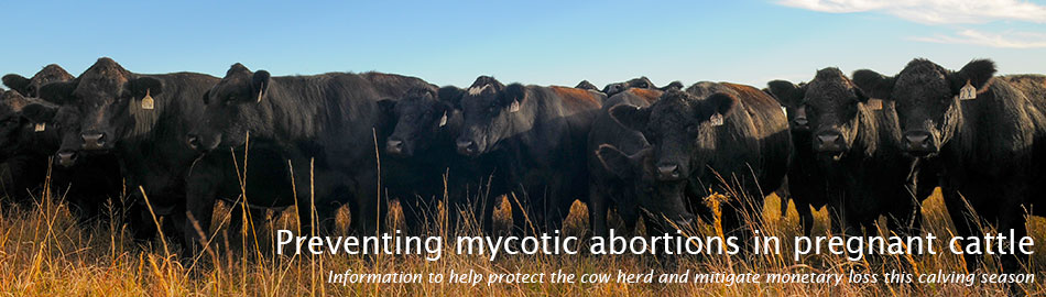 Preventing mycotic abortions in pregnant cattle