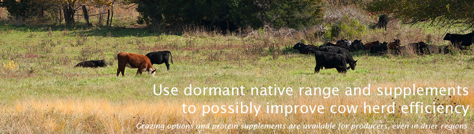 Use dormant native range and supplements to possibly improve cow herd efficiency