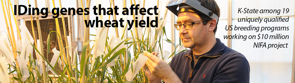 Kansas State University scientists to help identify genes that control wheat yield