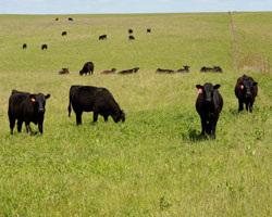 cattle on the prairie