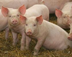 Swine Research and Kansas State University