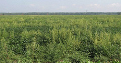 Pigweeds in soybeans