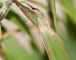 wheat freeze damage