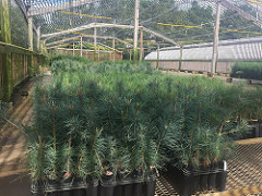 Conservation Tree Seedlings
