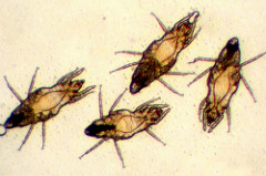 Itch mites