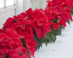 Selecting And Maintaining The Perfect Poinsettias
