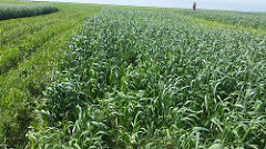 cover crops in Hays