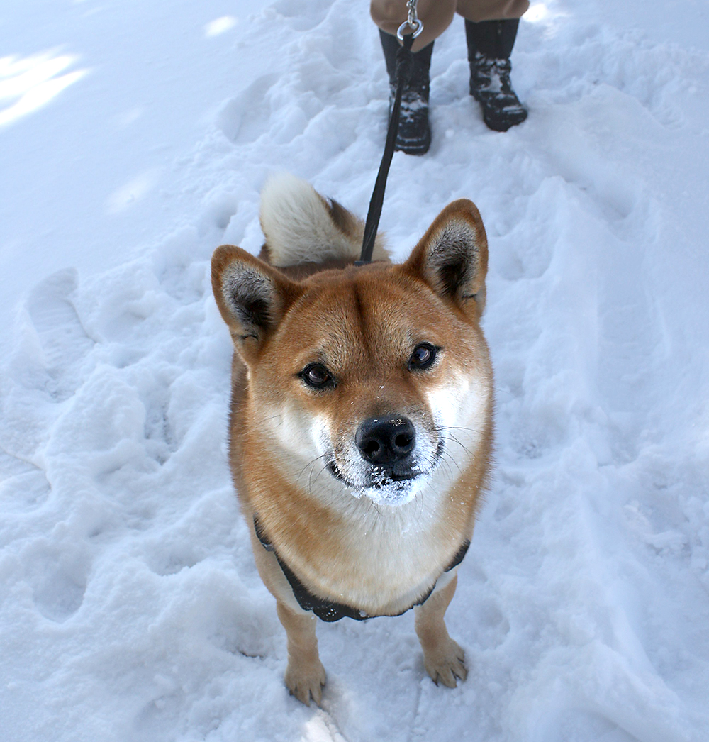 dog being walked in the snow