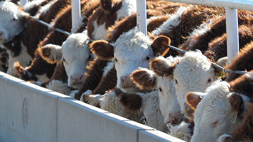 Cattle at feed bunk, Kansas feedlot