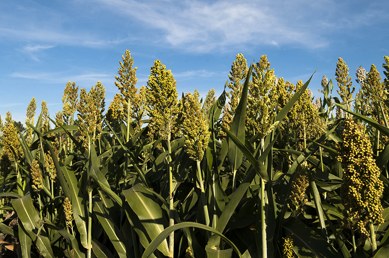 Free K-State Sorghum Production Schools will be offered in early February in Garden City, Hays and Salina.