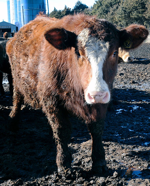 hereford cow standing in mud