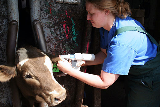 Woman applying implant to calf in chute