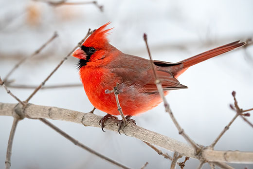 Cardinal sitting on tree branch on a winter day