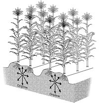 Schematic of dripline arrangement for corn production