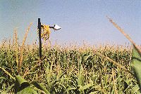 Infrared thermometer viewing deficit irrigated corn