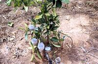 SDI using wastewater for lemons with tensiometers and soil water samplers